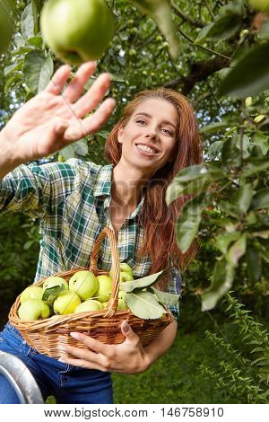 Woman with basket full of ripe apples in a sunny garden.