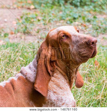 A Bracco Italiano portrait an Italian hunting dog