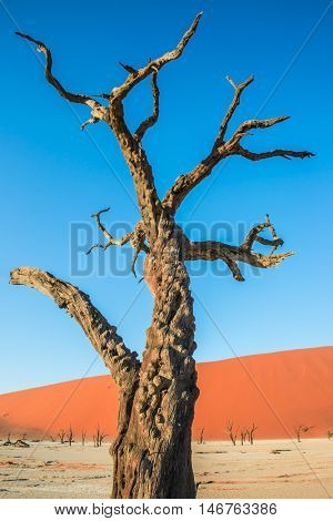 Orange dune and dried tree. The dried lake Deadvlei. Ecotourism in Namib-Naukluft National Park, Namibia