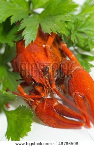 macro Boiled crayfish on isolate white background with green