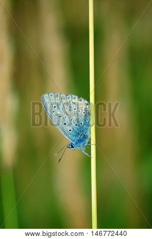 Plebejus Idas, Idas Blue, Is A Butterfly In The Family Lycaenidae. Beautiful Butterfly Sitting On Fl