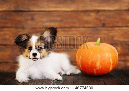 Portrait of a cute little puppy Papillon with pumpkin on a wooden background