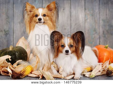 Portraits of two adult dogs papillon breed with pumpkins. Halloween
