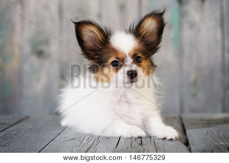 Portrait of a cute little puppy Papillon on a wooden background