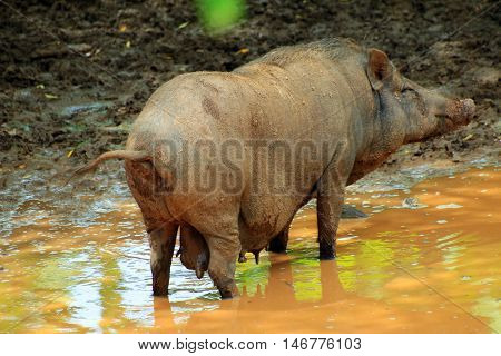 Wild boar in the forest mud under the heavy sun light