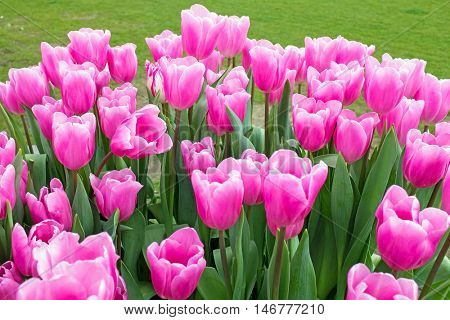 Pink tulips in the countryside from the Netherlands
