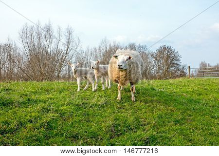 Sheep with lambs in the countryside from the Netherlands