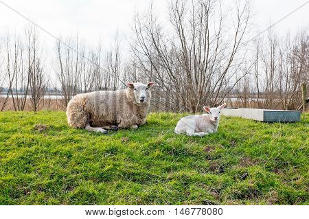 Sheep with lamb in the countryside from the Netherlands