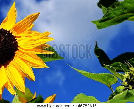 Sunflowers (Helianthus annuus) with leaves and cloudy sky.