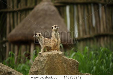 Pair of meerkat also known as suricate Suricata suricatta carnivoran belonging to the mongoose family; sitting and standing on rock with defocused background
