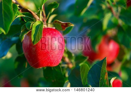Honey Crisp apples on trees in the orchard.