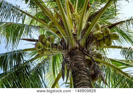 fresh green coconut tree in nature garden