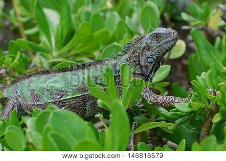A green iguana climbing throught the top of green shrubbery.