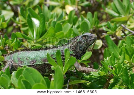 Green American iguana creeping across the tops of shrubs.