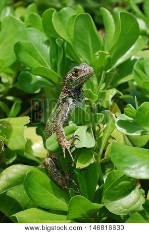 Green common iguana sitting in a bush.