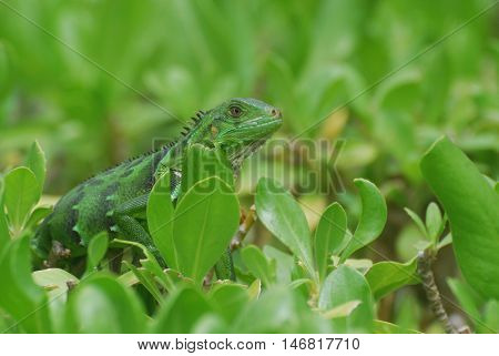 Green American iguana perched on the top of green shrubs.