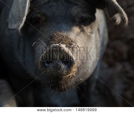 Funny closeup of a pig with its dirty snout