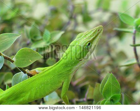 Skinny green lizard in Carribean green shrubbery.