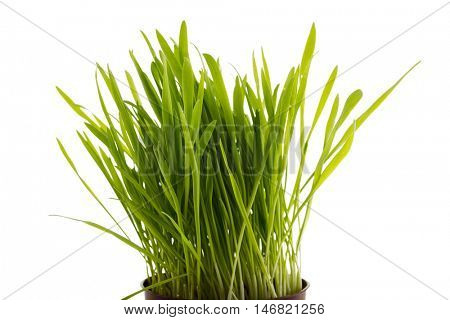 Young green sprouts of oat