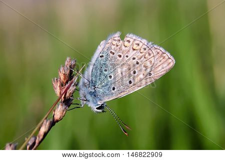 Plebejus Idas, Idas Blue, Is A Butterfly In The Family Lycaenidae. Beautiful Butterfly Sitting On St