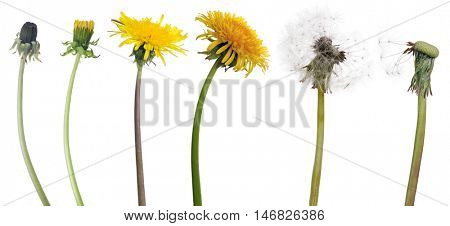 chain of dandelion flowers from beginning to senility isolated on white background
