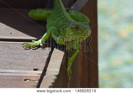Green iguana perched on the edge of a bridge.