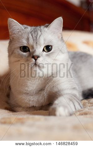 beautiful purebred cat British lop-eared breed indoors