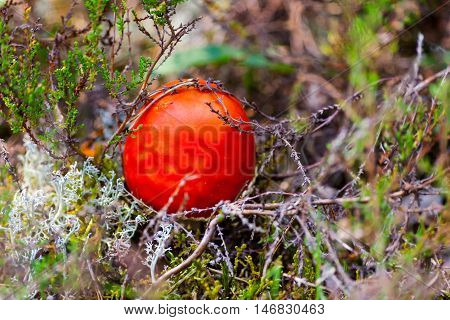 a poisonous red mushroom, red color, grows in the forest among moss