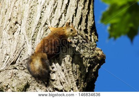 Squirrel on a tree. Attentive look of the squirrel jumping on a tree.