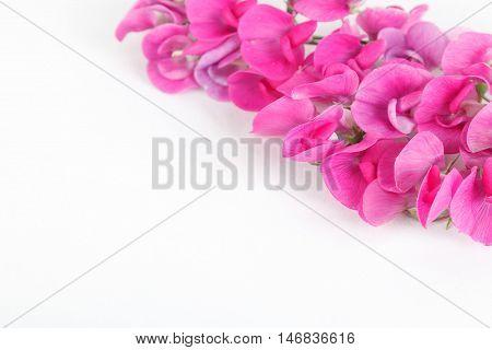 Magenta sweet peas flowers isolated on white background