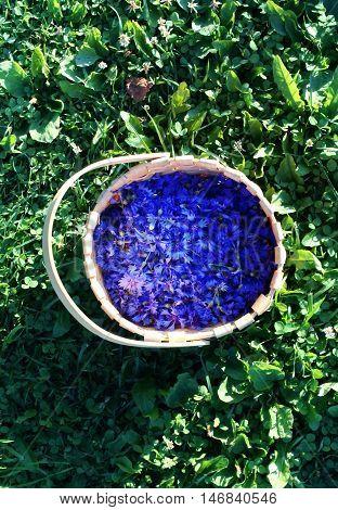 Blue cornflowers in a basket on green summer grass background