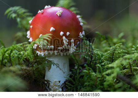 Closeup shot of death cap a very poisonous fungus. Also called agaric.