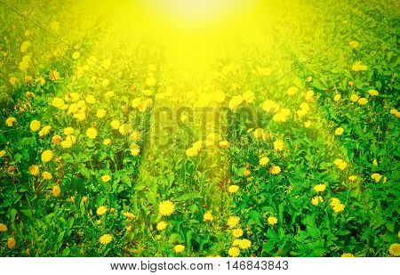 Meadow with dandelions at sunny day