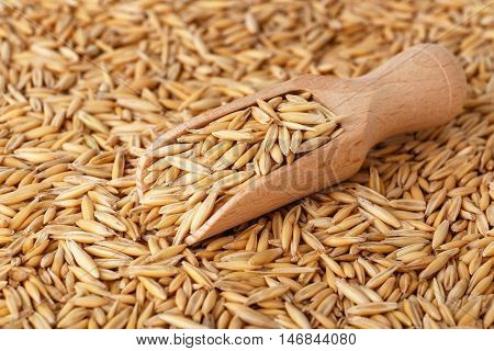 natural oat grains with husk in scoop for background closeup shot. Heap of organic oat grains with wooden spoon healthy food and nutrition. Diet supplements oat grain. Oat grains