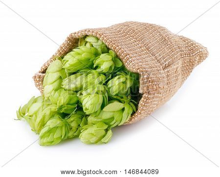 Fresh green hops scattered out of the burlap bag isolated on white background. Hop cones isolated on white. Hop for beer in burlap bag. Sack of fresh hops isolated on a white background.