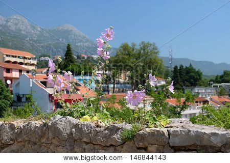 Pink mallow flowers growing on stone fortress wall in town Herceg Novi Montenegro