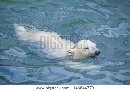 Little white polar bear in water