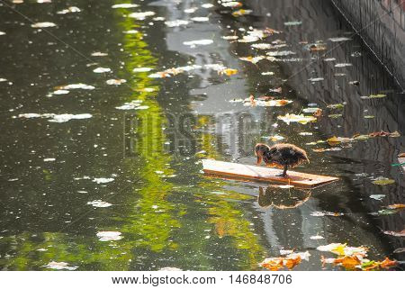 Small Duckling floating on round wood log