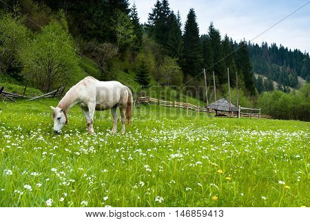 Stallion grazing in a pasture at the foot of the Carpathians mountains