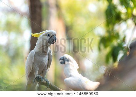 Beautiful white Cockatoo Sulphur-crested Cockatoo (Cacatua galerita)