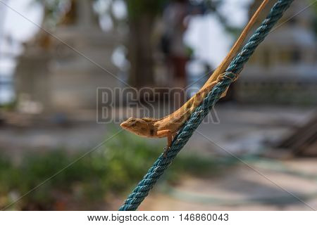 Orange lizard on the rope in garden