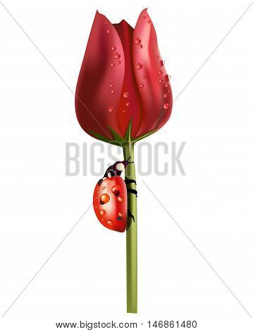 Red tulip in drops of dew and a ladybird on a stalk isolated on white. Illustrations for printed materials and backgrounds
