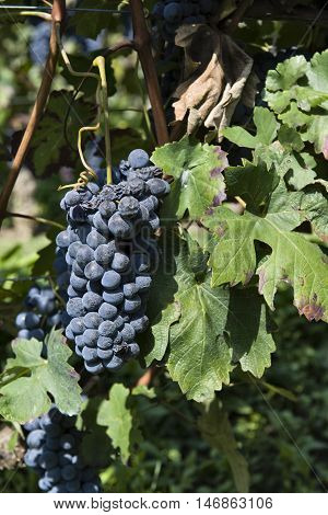 Bunches of grapes ready for harvest in Piedmont Italy