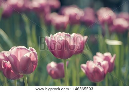 Pink Tulip Flowers Closeup