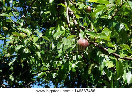 A pear ripens in a pear tree (Pyrus communis) in Harbor Springs, Michigan during August.