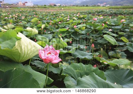 Peony Lotus flowers and buds,many beautiful pink with purple peony lotus flowers blooming in the pond in summer