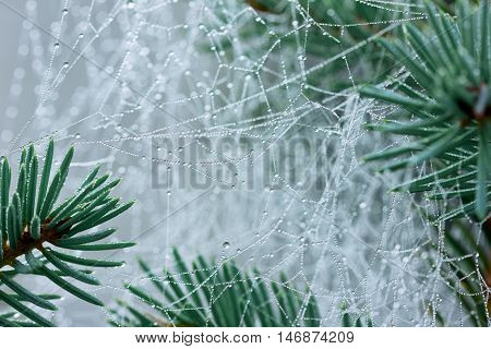 Pine branch with spider web or cobweb with water drops after rain.