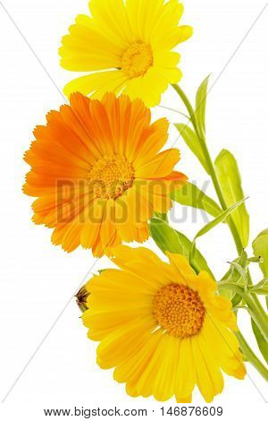 Flower calendula isolated on white background. Botanical, floral or medical concept.