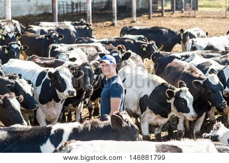 Farmer among cattle is working on farm cows