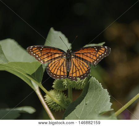A Viceroy (Limenitis archippus) butterfly, basking on a plant in the vicinity of Lake Ontario, New York, USA.